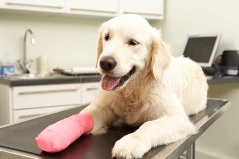 Crabot récupérant après demande de règlement dans la chirurgie de vétérinaire photographie stock libre de droits
