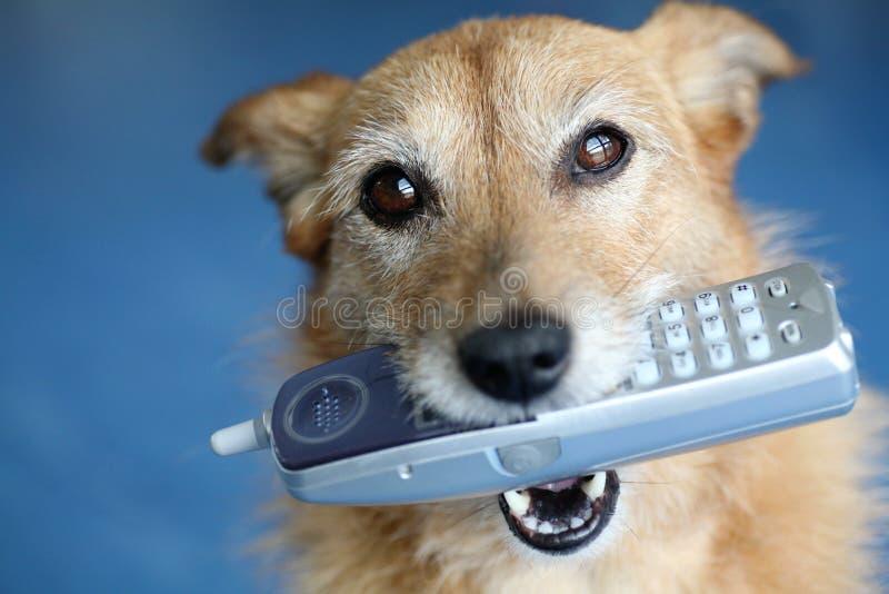 Crabot retenant un téléphone dans sa bouche photographie stock