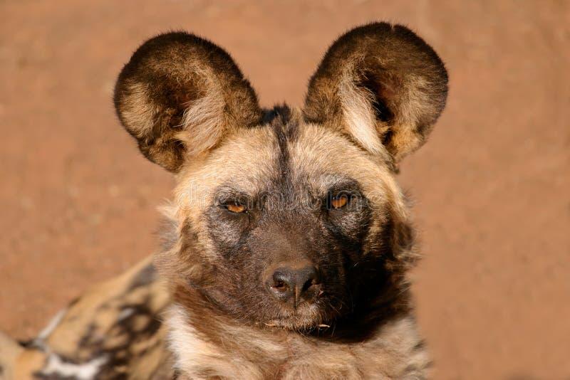 Crabot sauvage africain photo libre de droits