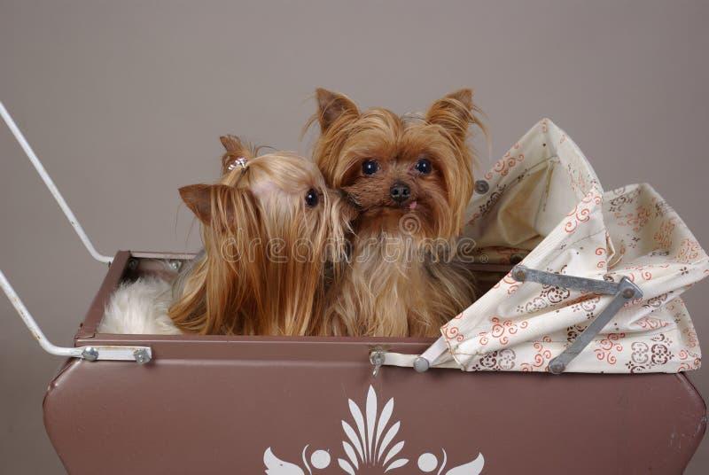 Crabots de chien terrier de Yorkshire photos libres de droits