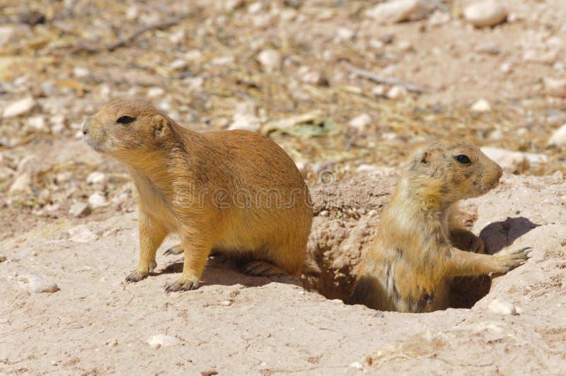 Crabots de prairie photos stock