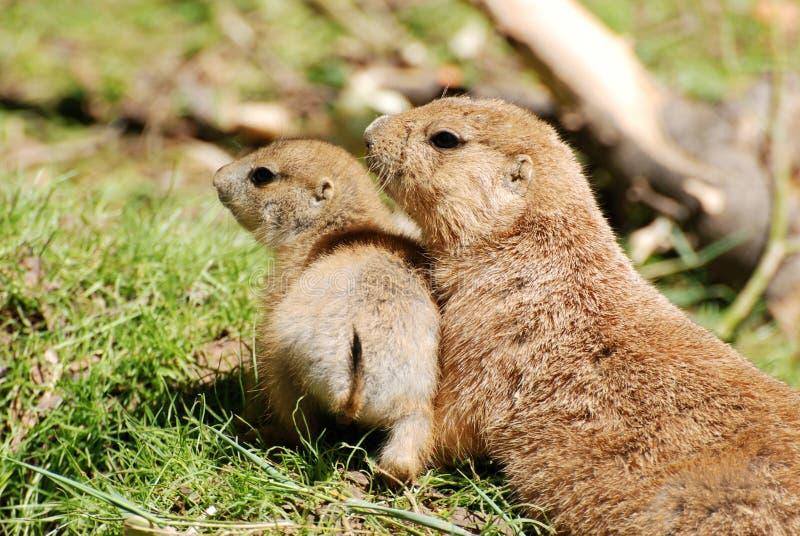 Crabots de prairie de mère et de chéri image libre de droits
