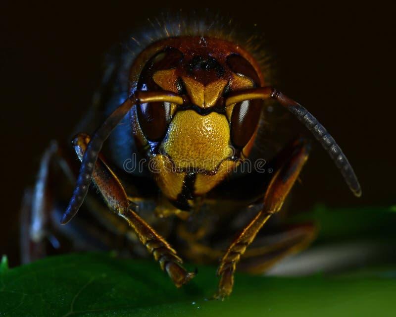Crabro della vespa del calabrone, nella fine estrema su fotografia stock libera da diritti