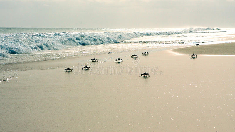 Crabs on the beach. Crabs on the desert beach f Santa Monica in the island of Boa Vista in Cape Verde stock photography