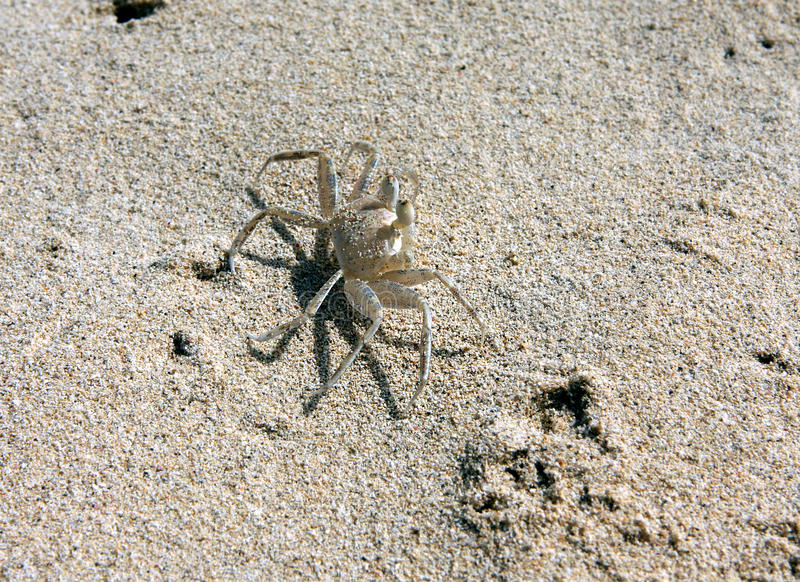 Crabs on the beach. Crabs on the desert beach f Santa Monica in the island of Boa Vista in Cape Verde royalty free stock photo