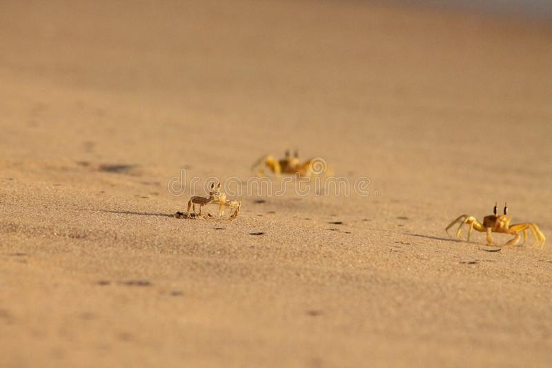 Crabs on the beach. Crabs racing along the sea shore during sunrise stock photo