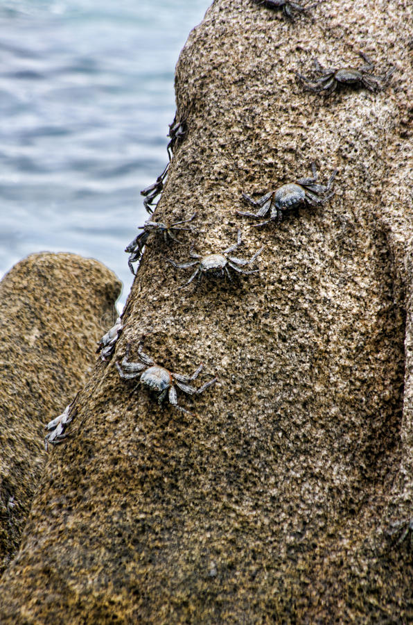 Crabs. Crawling along a rocky coast line stock images