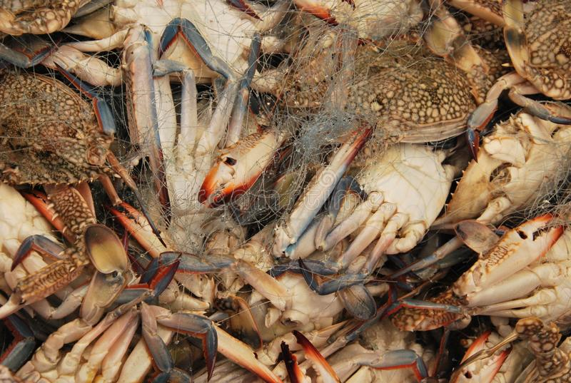Crabs in the old Acre/ Akko market with fishing net. Sea food royalty free stock image