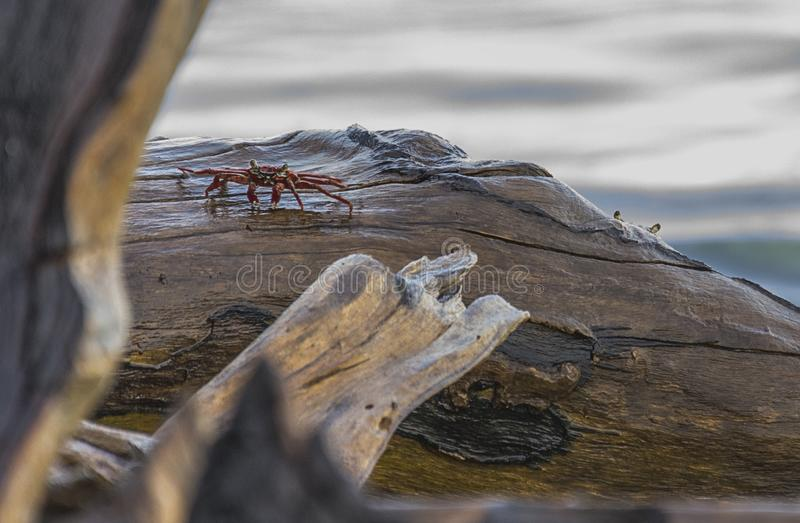 Crabs on rocks royalty free stock photo