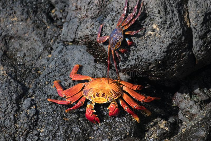 Crabs on the rocks of Santa Cruz in the Galapagos Islands royalty free stock image
