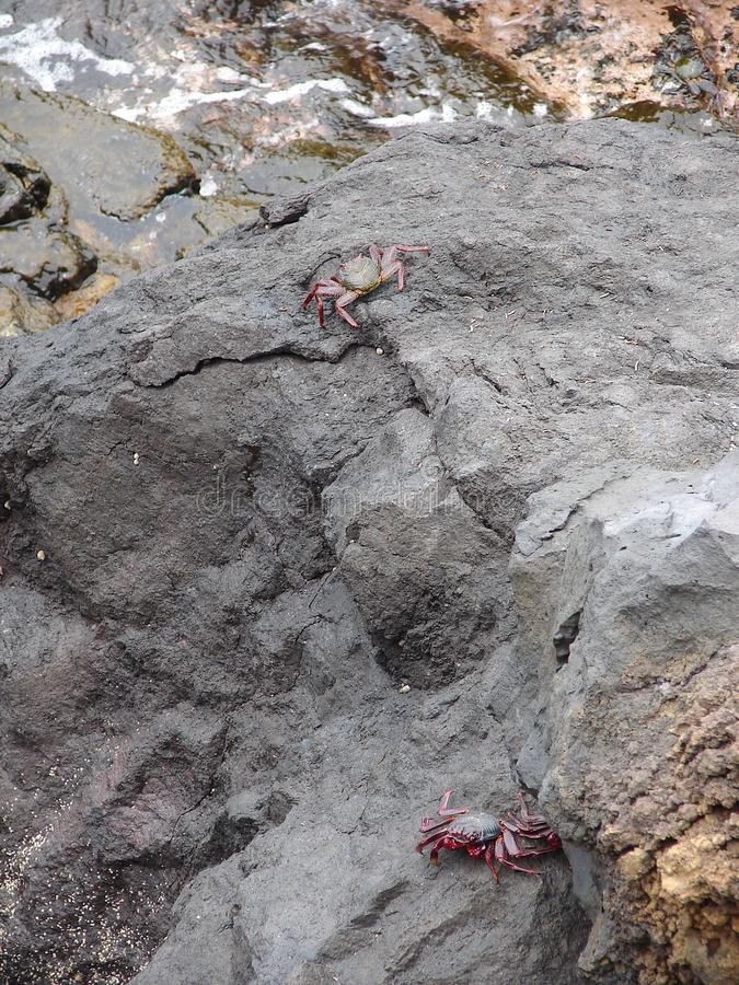 Crabs on rocks at the sea stock images
