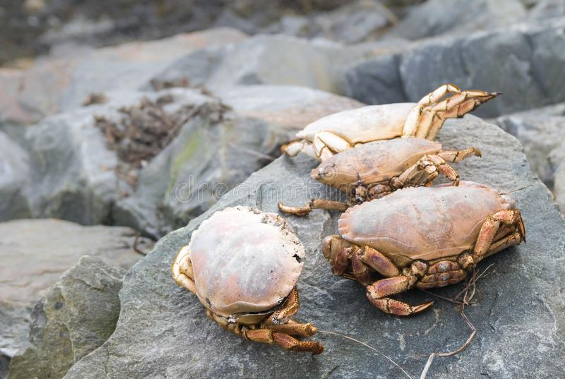 Crabs on rocks royalty free stock image