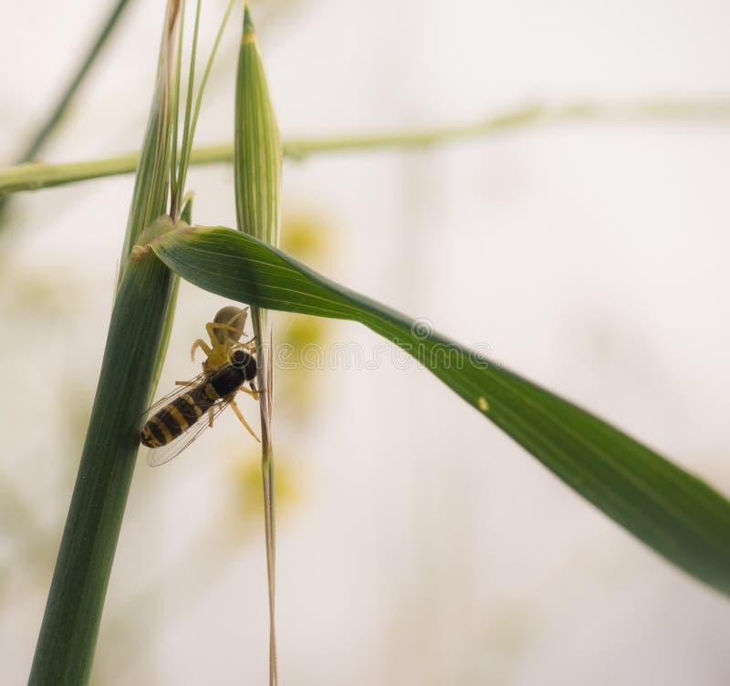 Crabspider con la preda sotto il gambo dell'erba fotografie stock