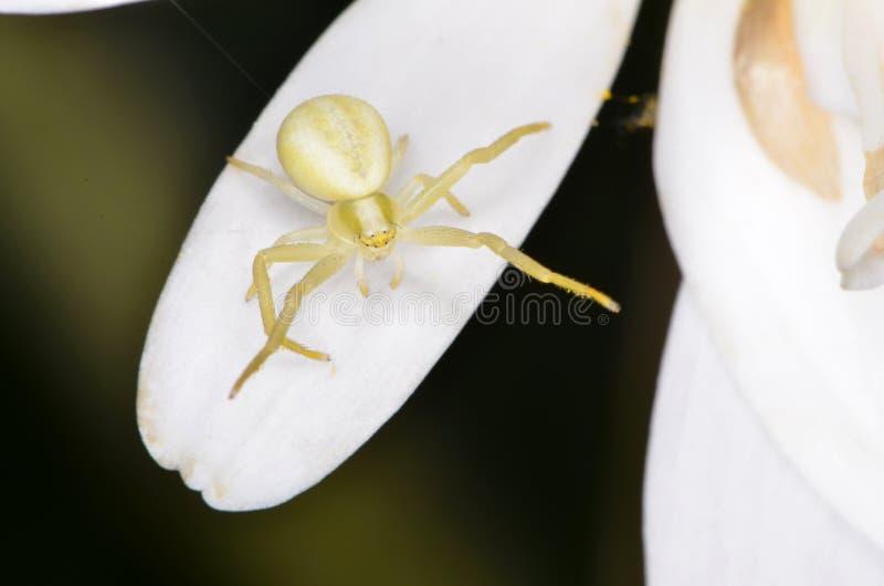 Crabspider (vatia de Misumena) fotos de stock royalty free