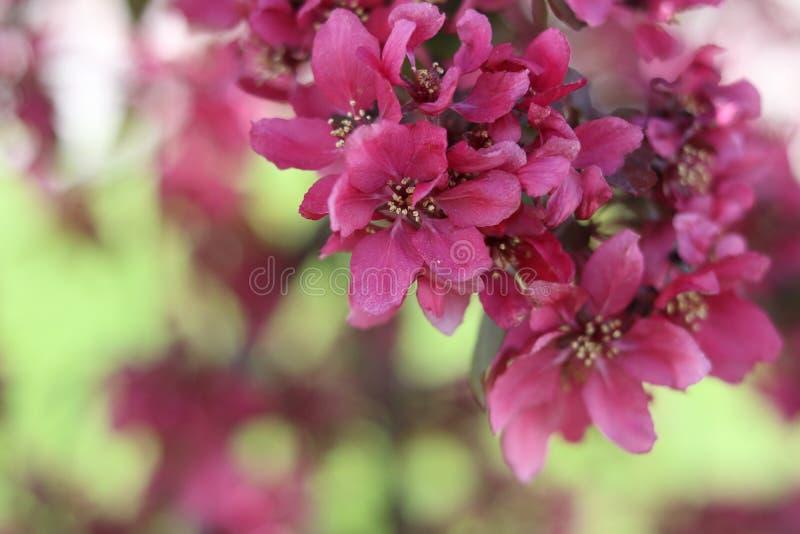 Crabtree rosado floreciente en la floración, primer imagen de archivo