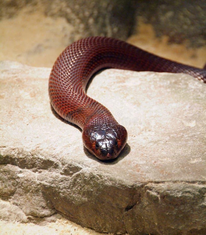crachement rouge de cobra photographie stock libre de droits