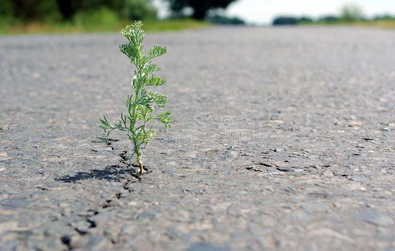A crack in the asphalt. Grass wormwood growing in a crack on the road. Copy spaces. royalty free stock image