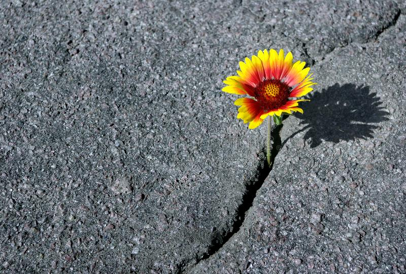 Crack on the asphalt road. A crack in the asphalt and a beautiful flower. Gaillardia. Copy spaces. stock images