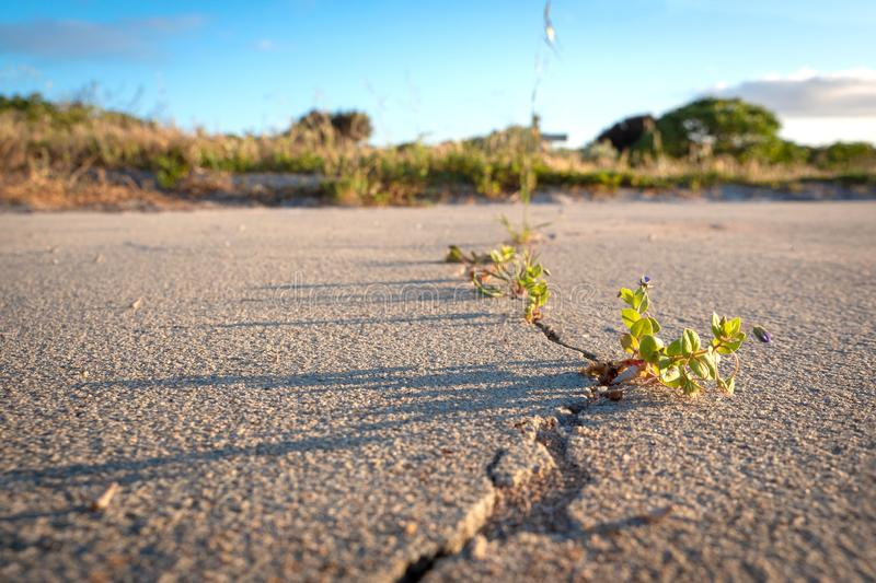 Crack in dry sand surface, weeds, hope and beautiful light. Weeds growing through a crack in beautiful morning sunlight, low angle stock photo