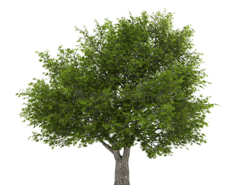 Download Crack Willow Tree Isolated On White Stock Illustration - Image: 22601262