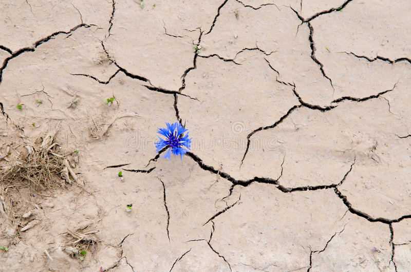 Cracked ground. Flower in the cracked ground stock photography