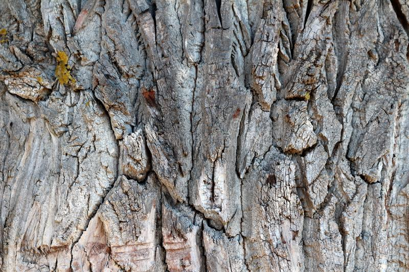 Cracked old tree bark texture with beautiful details and shapes covered in parts with moss in local garden. On warm sunny day royalty free stock photo