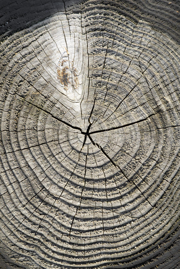 Free Cracked Pine-tree Trunk In Cross Section Royalty Free Stock Photography - 39024937