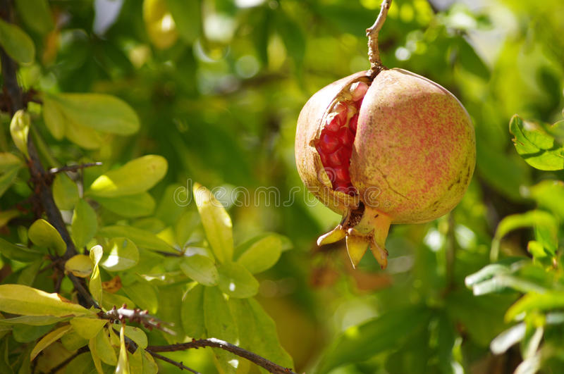 Cracked pomegranate royalty free stock images