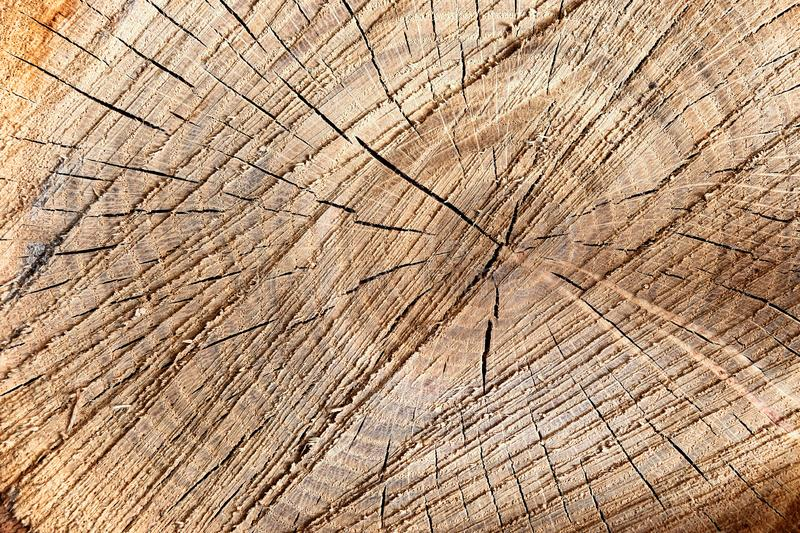 Cracked slice of young oak tree. stock images
