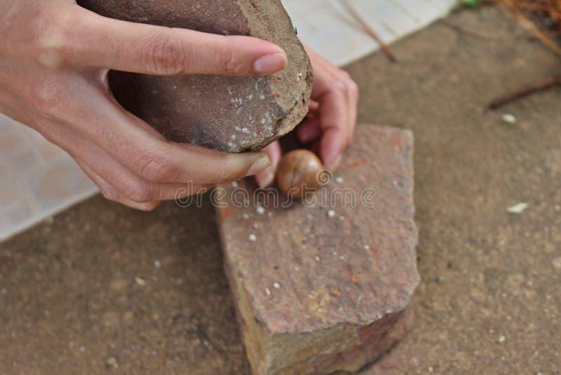 Cracking macadamia nuts royalty free stock photo
