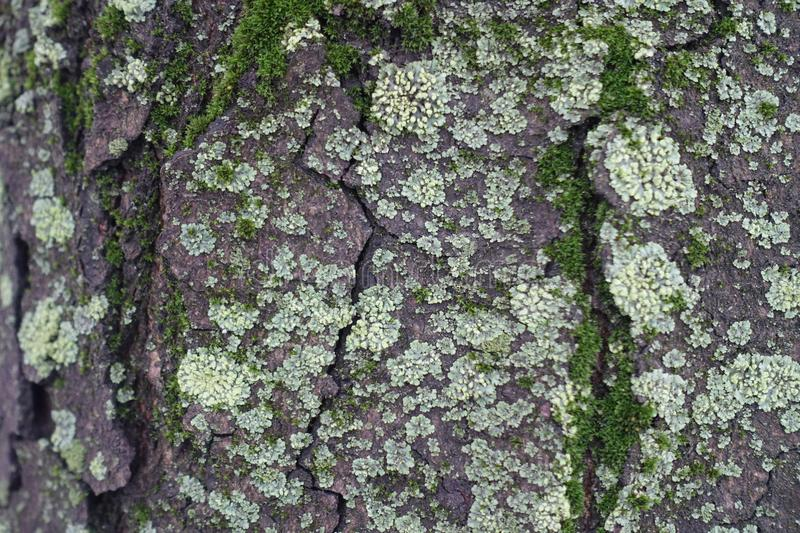 Crackled surface of tree bark with moss and light green lichen royalty free stock image