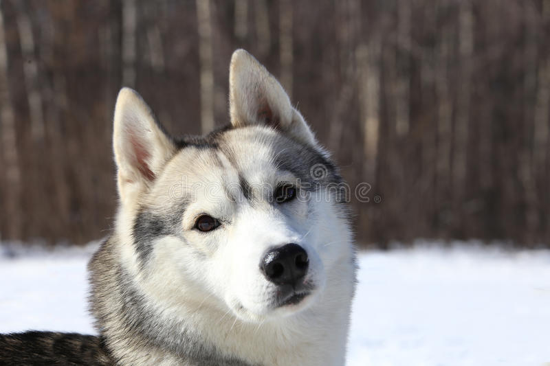 Crafty timid gray wolf stock photography
