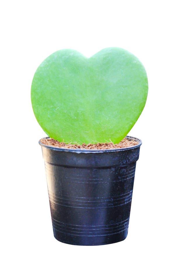 Craib coloré ou amoureux vert Hoya, nature ornementale de kerrii de Hoya de fleurs de pot dans les modèles en forme de coeur d'is photo libre de droits