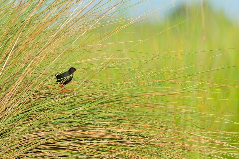 Crake negro, flavirostra de Zapornia, ocultado en la hierba cerca del agua de río Pájaro negro con la pierna roja en el hábitat d foto de archivo libre de regalías