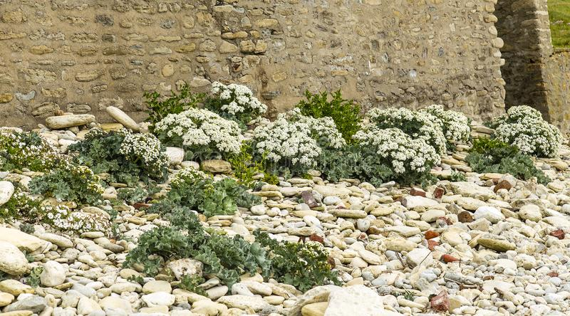 Crambe maritima at the Opal Coast, it is a coastal strip in the Hauts-de-France region of northern France. The Opal Coast is located on the North Sea coast in royalty free stock photo