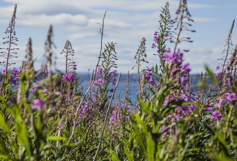 Cramond-Insel, Schottland, das BRITISCHE - purpurrote Blumen und blaue Himmel stockfoto