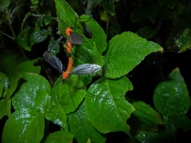 Cran fly mating , Insecta, Diptera, Tipulidae, mating insect. Cran fly mating , Insecta, order, Diptera, Tipulidae, on the leaves during rain on may month stock photos