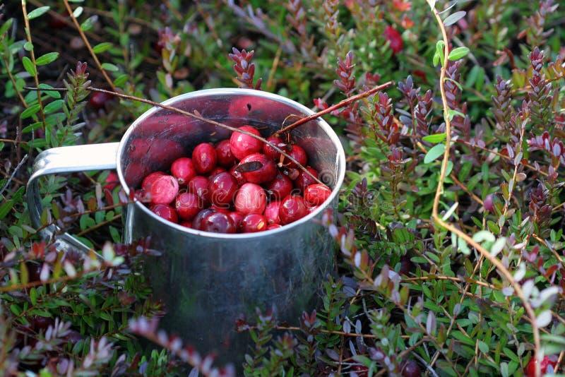 cranberries świeży właśnie kubek podnoszący bagno fotografia stock