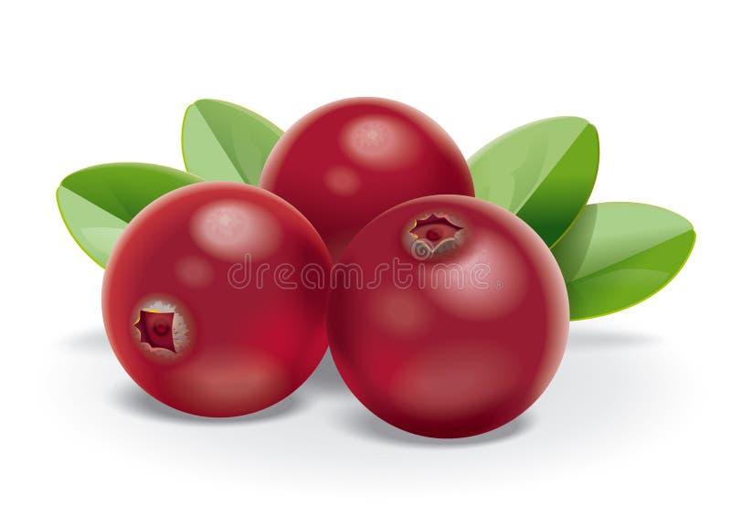 Cranberries. Detailed vector illustration