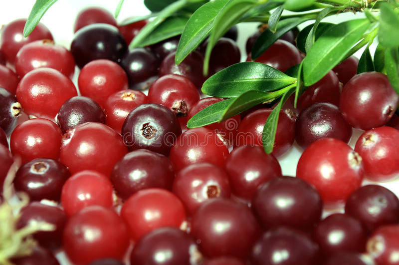 Cranberries. A macro shot of frsh cranberries with green leaves royalty free stock images