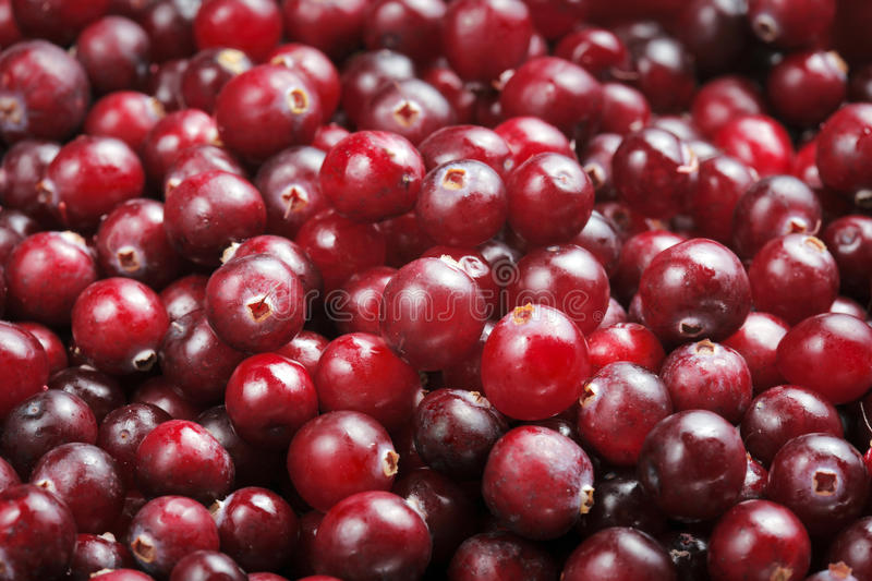 Cranberries. Fresh red ripe cranberries. Most cranberries are processed into products such as juice, sauce, jam, and sweetened dried cranberries, with the royalty free stock image