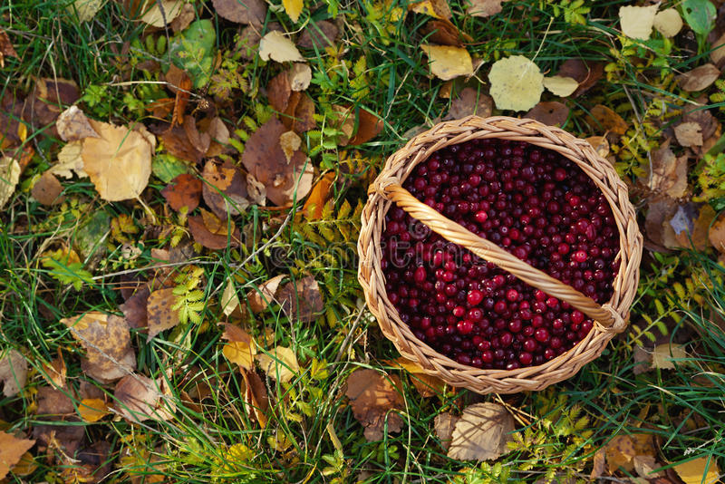 Cranberries basket on autumn leaves. Photo of cranberries basket on autumn leaves royalty free stock photography
