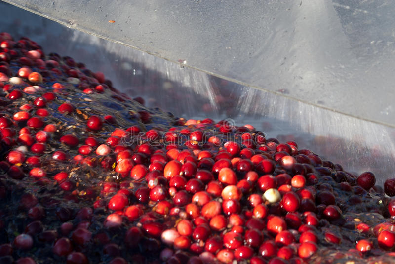 Cranberries being washed after harvesting royalty free stock photo