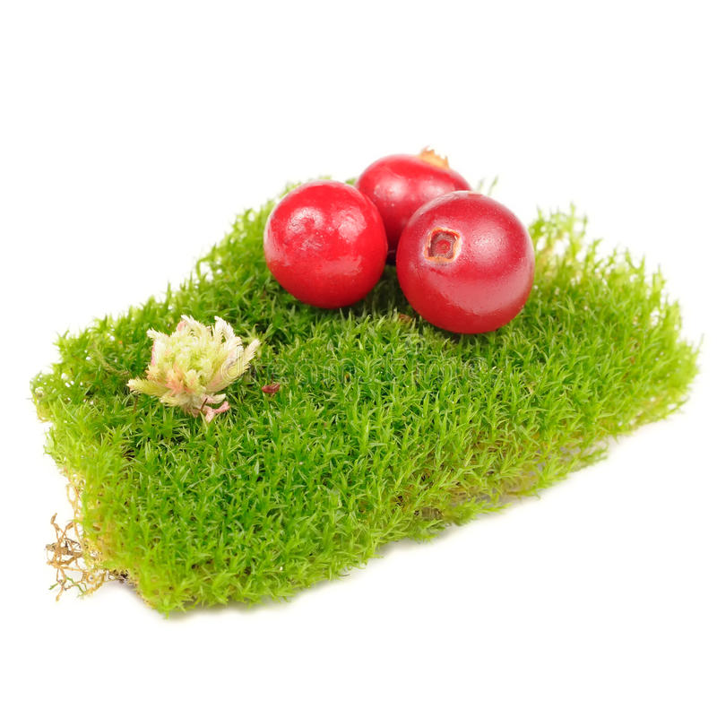 Cranberries on Clump of Green Moss