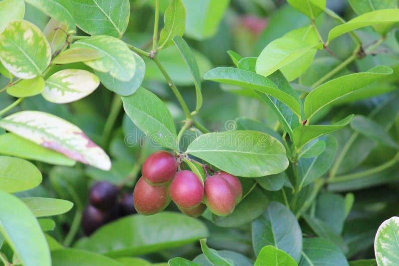 Cranberries stock photography