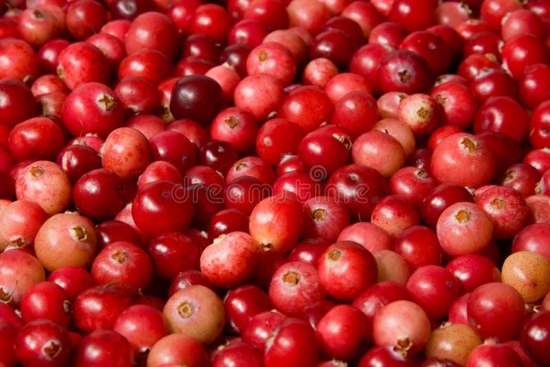 cranberries dzicy obraz stock