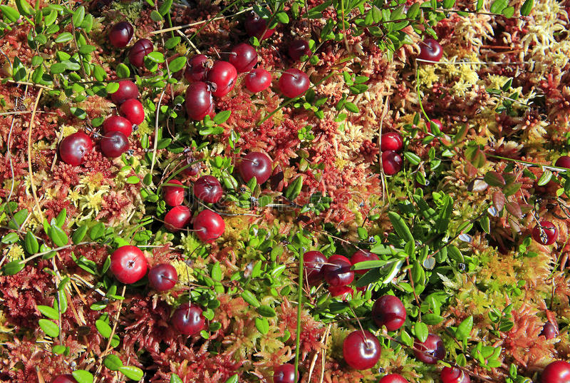 Cranberries r w fen fotografia royalty free