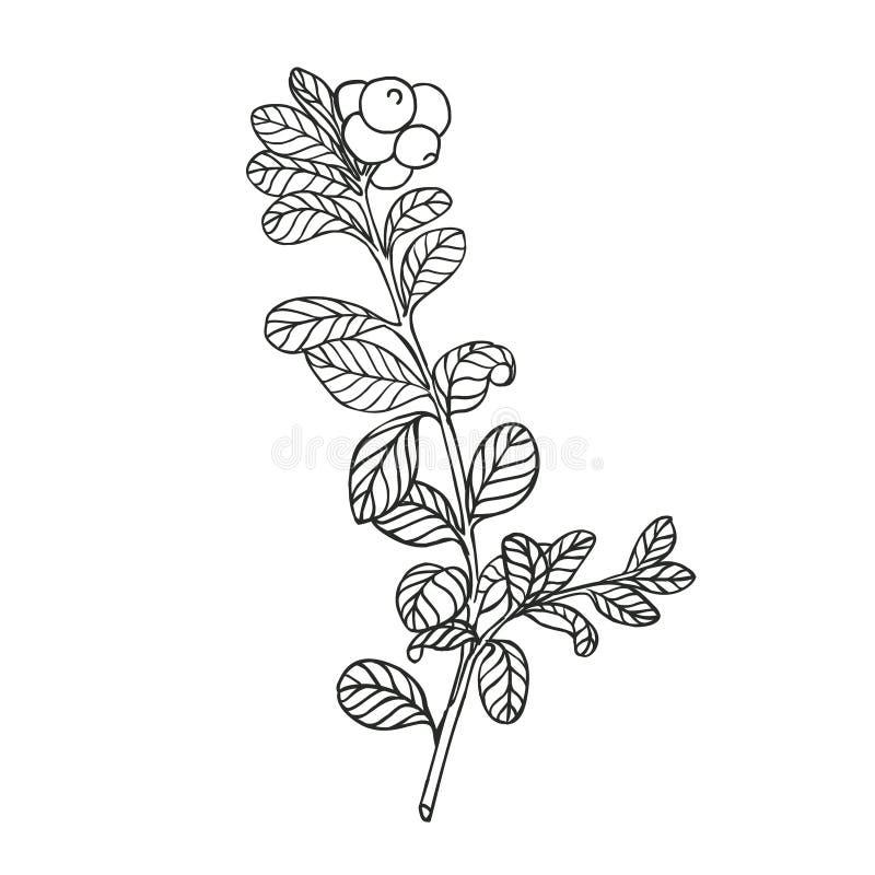 Cranberries roślina royalty ilustracja