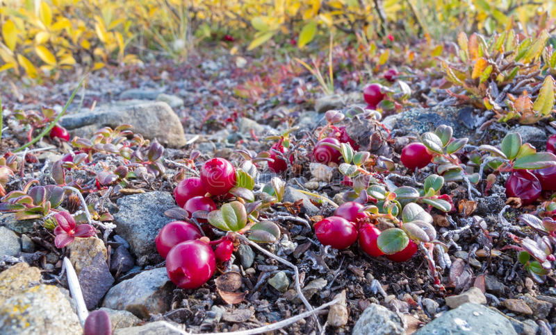 Cranberries Vaccinium vitis-idaea alpine plants. Ripe red low-bush cranberries, lingonberry, or partridgeberry, Vaccinium vitis-idaea, on dwarfed plants in royalty free stock photo