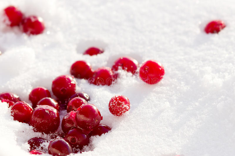 Cranberries w śniegu fotografia royalty free